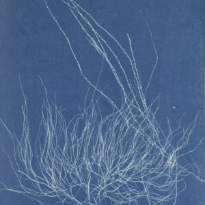 Anna Atkins Photographs of British Algae Cyanotype Impressions. Purchased with the support of BankGiro Lottery, the W. Cordia Family/Rijksmuseum Fund and the Paul Huf Fund/Rijksmuseum Fund. Download image Anna Atkins Photographs of British Algae Cyanotype Impressions. Purchased with the support of BankGiro Lottery, the W. Cordia Family/Rijksmuseum Fund and the Paul Huf Fund/Rijksmuseum Fund.